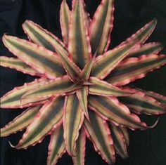 Cryptanthus Pink Star