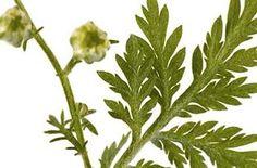 Artemisia Annua: una speranza per i cani malati di tumore