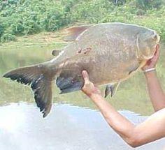 La Cachama del Rio  Orinoco, una pesca tradicional. Venezuela