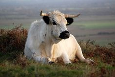 Rare breed White Park cattle by Bob Small photography