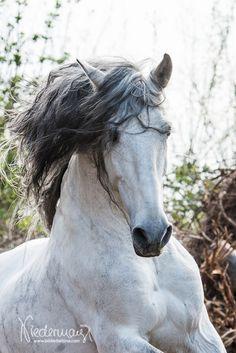 PRE + Andalusier - Pferdefotografie, Hundefotografie, Fotografie Bettina Niedermayr Pferde - Mensch & Pferd - Hunde- Portrait - Stallschilder - Kalender, Pferdekalender, Haflingerkalender mit Kohlfuchs Liz. Steiermark