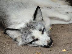 sleeping Marble Fox