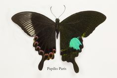 Paris Swallowtail Butterfly, Papilio paris, photography by:  Darrell Gulin