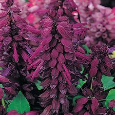 Vista Purple Salvia Seeds from Park Seed