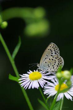大和小灰蝶(やまとしじみ)  ※以前投稿した写真のトリミングを変えてみたものです  Pale Grass Blue