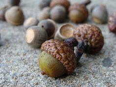 Acorns, via Flickr. (uacescomm, 2011)