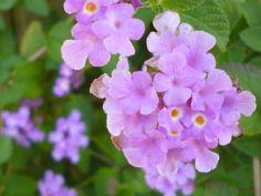 Flower (Violet)