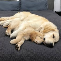 Astonishing Everything You Ever Wanted to Know about Golden Retrievers Ideas. Glorious Everything You Ever Wanted to Know about Golden Retrievers Ideas. Retriever Puppy, Dogs Golden Retriever, Funny Golden Retrievers, English Golden Retrievers, I Love Dogs, Cute Dogs, Dog Rates, Dog Life, Funny Dogs