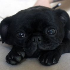 super cute black pug puppy ___ Love this Pugs? Visit our website now! Cute Pugs, Cute Puppies, Dogs And Puppies, Doggies, Terrier Puppies, Bulldog Puppies, Boston Terrier, Pug Love, I Love Dogs