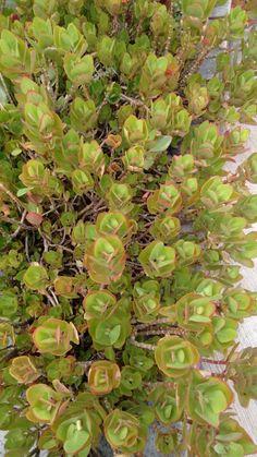 ¿Podrían decirme cómo se llama esta  planta?