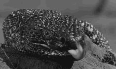 Rhett Hammersmith's International Haus of Horrors - The Giant Gila Monster . Gila Monster, Reptile Room, Top Photo, Popular Culture, Landscape Photos, Science Fiction, Funny Animals, Scary, Eye Candy