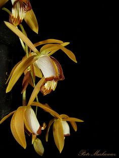 Orchidaceae, Orchid Flowers, Conservatories, Greenhouses, Permaculture, Horticulture, Shiva, Botanical Gardens, Garden Plants