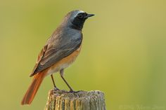 Photograph Redstart by Mario Severi on 500px
