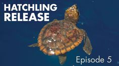 Sea Turtle Hatchlings Release, Episode 5 Rescue-Clearwater