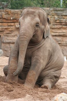 """j-u-n-g-l-e-vines: """" Asian Elephant at Chester Zoo by kitskel """" All About Elephants, Elephants Never Forget, Save The Elephants, Baby Elephants, Baby Hippo, Asian Elephant, Elephant Love, Elephant Art, Elephant Pictures"""