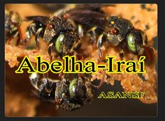 Abelha-Iraí (Nannotrigona testaceicornes) Aprendendo sobre abelhas nativ...