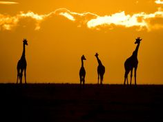 Giraffes at Sunset Picture, Masai Mara Park - National Geographic Photo of the Day Wild Life, Animals Beautiful, Cute Animals, Smart Animals, Out Of Africa, Sunset Pictures, African Safari, Fauna, National Geographic Photos