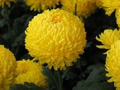 velkokvete chryzantemy - Hľadať Googlom Close Image, Flower Power, Fruit, Flowers, Plants, Arrow Keys, Google, Plant, Royal Icing Flowers