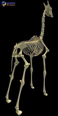 Giraffe Skeleton Anatomy Skull