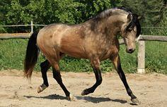 Un cheval isabelle pommelé