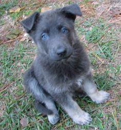 Blue German Shepherd (they have no black fur).
