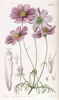 Bidens bipinnatus [syn. Cosmos bipinnatus Cav.] [as Cosmos tenuifolia Lindl.] Edwards's Botanical Register, vol. 23: t. 2007 (1837)
