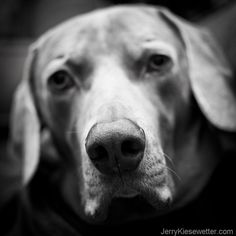 #Weimaraner Photograph Black and White Dog by JKiesewetterPhotos - $20.00