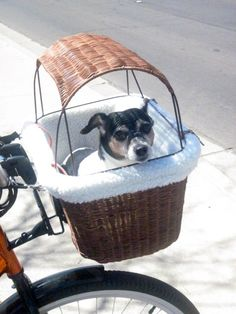 Rat Terrier in a Solvit Tagalong wicker bicycle basket. Not sure if I could keep my Puck inside? #CondaDouglas