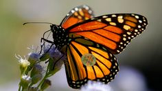 Obama's Plan to Save the Monarch Butterflies' Epic Migration | Mother Jones