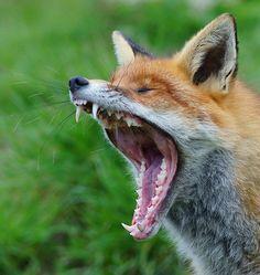Gray Fox v Red Fox
