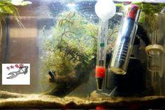 물 생활 전문 브리더의 이미테이터 코리의 어항 25cm 반자항