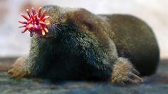 Scharfschützen und Psychokiller: Die raffiniertesten Jäger im Tierreich -Der maulwurfsähnliche Sternmull (Bild) war Forschern lange Zeit ein Rätsel: Welchen evolutionsbedingten Grund konnte die sonderbare Form seiner Nase haben? Es sei ein höher entwickeltes Riechorgan, mutmaßten die Wissenschaftler, vielleicht eine Art Sensorsystem zum Aufspüren elektromagnetischer Felder oder eine fünfte Hand zum Beutegreifen. Schließlich kam man dem eigenartigen Tier durch Hochgeschwindigkeitsaufnahmen…