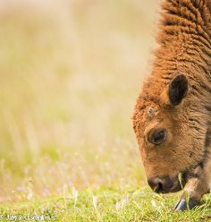 Baby Bison eating first grass of spring buffalo