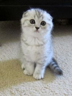 Scottish Fold #Kittens For Sale 3 white kittens 1boy and 1girl - #scottish - More Scottish Fold #Cat Breeds at Catsincare.com!