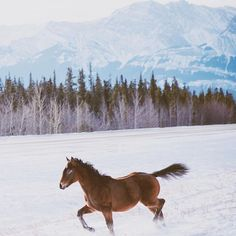 a wild foal enjoying a trot through the snow in canada.