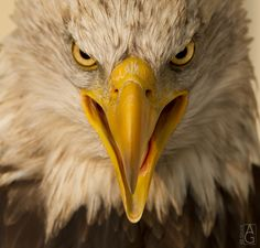 Bald Eagle – very fierce and very close up by Annette Gerard