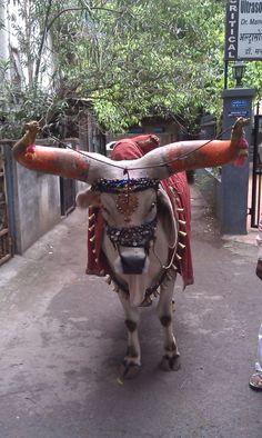 Nandibail from Maharashtra