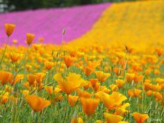 IRODORI Field (FARM TOMITA , ファーム富田)