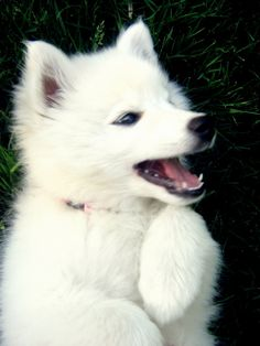 American Eskimo {Reverie Of An Old Soul Photography} #puppy #cute #animal #dog