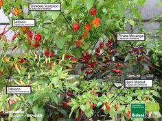 Habanero, Pfefferoni und Chili in Bioland-Qualität
