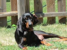 #ILLINOIS ~ #Adopt Brandi ~ a  3yr old spayed Black and Tan Coonhound!  Whatta' sleek shiny gal who's just soakin' up some sun until her fur-ever home sees her beauty. She can be found with .HOMELESS HOUNDS RESCUE in #OakForest  ph 708-925-9112 mailto:hhrescue1@...