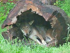 http://www.natureblog.org/red-wolf-pups/