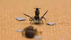 The web series Science Friday spoke with Madeline Girard, an animal behavior specialist at University of California at Berkeley, who talked about the elaborate mating dance of the peacock spider an...