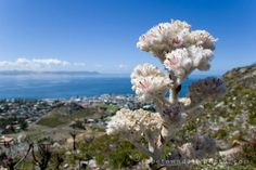 Because we have an entire kingdom inside our democracy - a floral kingdom, one of only 6 in the world (fynbos) ( to love SA) South Africa, Cape, World, Floral, Mantle, Cabo, Flowers, The World, Coats