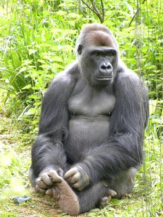 gorillas have always been beautiful to me, they are amazing