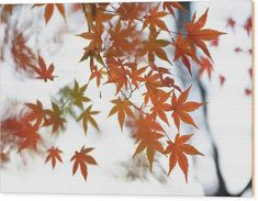 Jenny Rainbow Fine Art Photography Wood Print featuring the photograph Japanese Maple Leaves Poetry by Jenny Rainbow Jack Clark, Maple Leaves, Japanese Maple, Rustic Feel, Got Print, Leaf Prints, Art Techniques, Fine Art Photography, Fine Art America