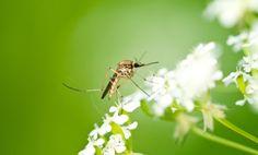 8 Natural Mosquito Repellents