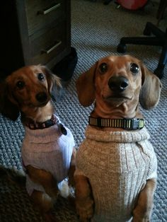 Weenies in sweaters! So cute...but don't let your dachshund do this- very bad for their backs.