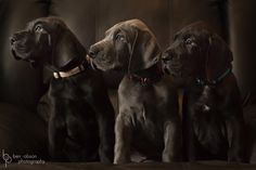 Great Dane puppies - Ben Robson