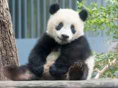 ご機嫌シャンシャンの激かわショット!毎日撮ってる写真家が5枚を厳選 Cute Baby Animals, Animals And Pets, Get Happy, Cute Panda, Sloth, Cute Babies, Creatures, Puppies, Character Design